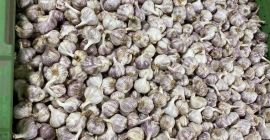 SELL DRIED VEGETABLES FRESH GARLIC, PRICE - AGRICULTURAL ADVERTISEMENTS, Agro-Market24