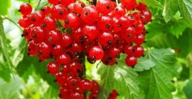 SELL INDUSTRIAL FRUITS FRESH CHOKEBERRY, PRICE - INTERNATIONAL AGRICULTURAL EXCHANGE, Agro-Market24