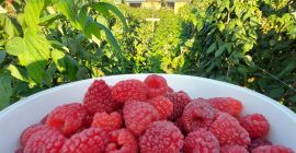 SELL FROZEN FRUITS FRESH RASPBERRIES, PRICE - CENY ROLNICZE, Agro-Market24