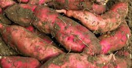 we provide fresh fruits and vegetables, spices, ... We have a large SWEET POTATO farm and factory packaged professionally. we can provides you large quantity in a short time. Hope that we can cooperate. Thanks and kind regards,