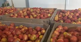 SELL FRESH FRUITS FRESH APPLES GOLDEN DELICIOUS, PRICE - AGRICULTURAL EXCHANGE, Agro-Market24