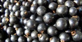 SELL FRESH FRUITS FRESH CURRANTS, PRICE - AGRICULTURAL ADVERTISEMENTS, Agro-Market24