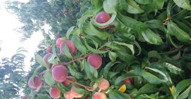 SELL INDUSTRIAL FRUITS FRESH PEACHES, PRICE - AGRICULTURAL ADVERTISEMENTS, Agro-Market24