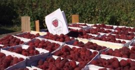 SELL DRIED FRUITS FRESH RASPBERRIES, PRICE - AGRICULTURAL ADVERTISEMENTS, Agro-Market24