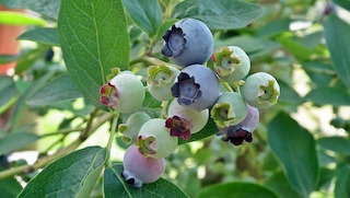 blueberry price