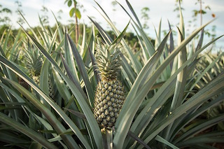 pineapples price