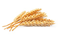 SELL FRESH CEREALS  CEREALS  WHEAT, PRICE - CENY ROLNICZE, Agro-Market24