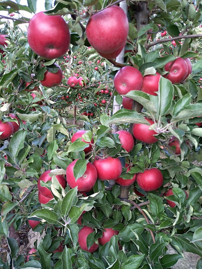 Apple Red Fruits